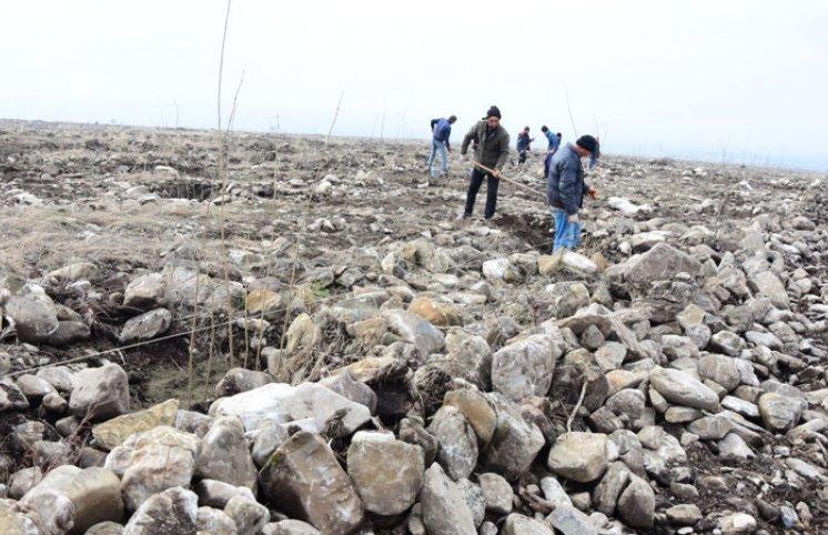Azərbaycanda yeni fındıq bağları salınır: yüzlərlə yeni iş yeri, bol məhsul gözlənilir